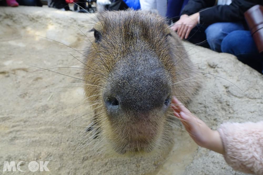 神戶動物王國水豚君