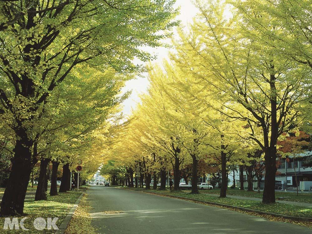 北海道大學的銀杏林道