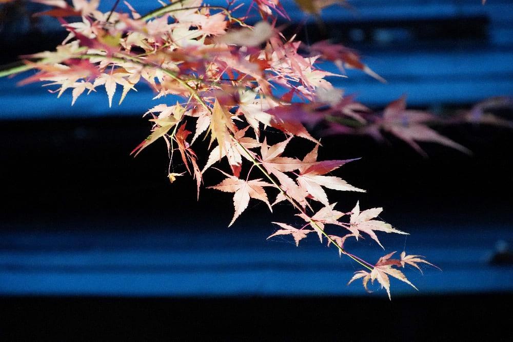 高野山楓葉