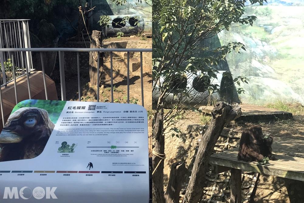 台灣 新竹 北台灣 新竹市立動物園 紅毛猩猩