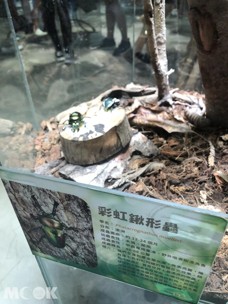 台灣昆蟲館 新竹館  彩虹鍬形蟲