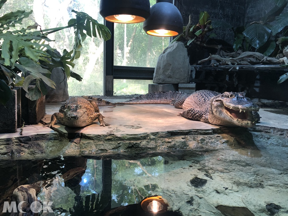 台灣昆蟲館 新竹館 鱷魚